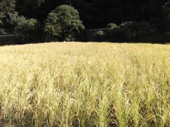 稲刈りシーズンの稲